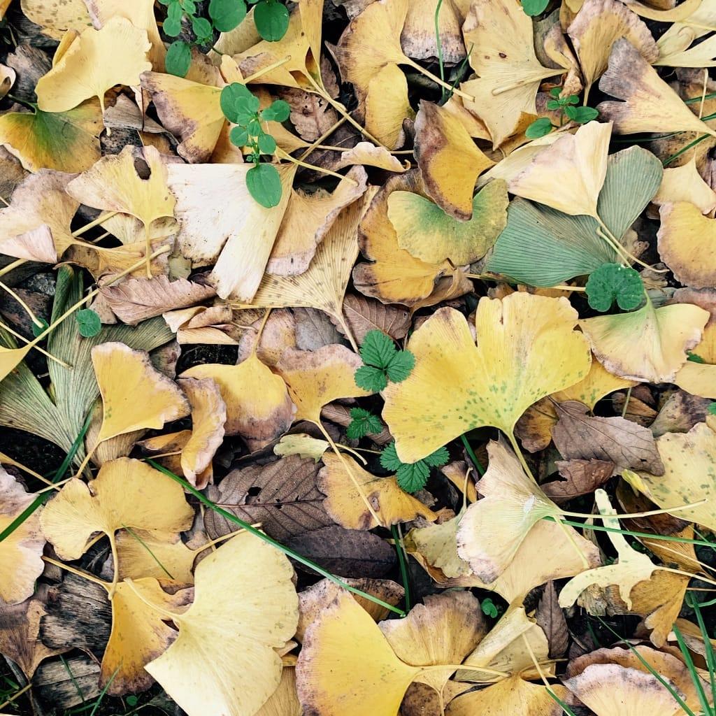 Ginko Dead leaves